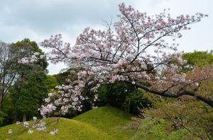 Cherry blossoms in Korakuen Garden, Tokyo